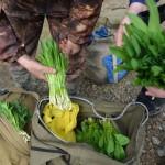 Со сборщиков черемши незаконно взимали «оброк»