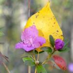 На Алтае вновь расцвел маральник (фото)