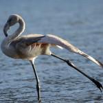 Отбившийся от стаи фламинго все еще разгуливает в окрестностях Артыбаша (фото)