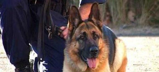 Служебная собака помогла поймать преступника