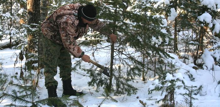 В республике заготовят около 30 тыс. новогодних елей