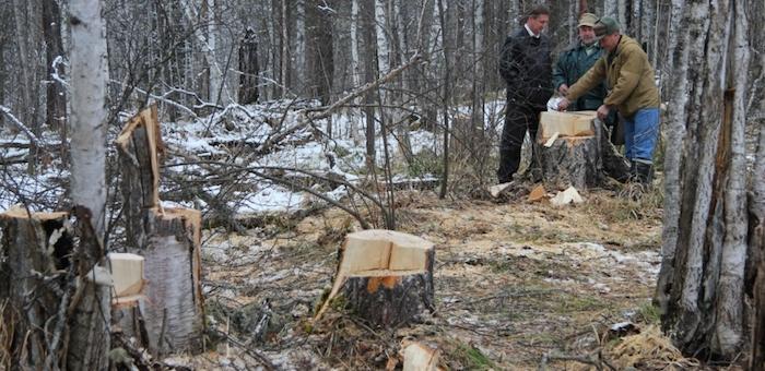 Злоумышленники срубили 14 вековых сосен на берегу Бии
