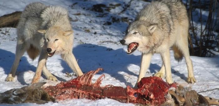 Свыше 200 сельхозживотных «задрали» волки в Кош-Агачском районе