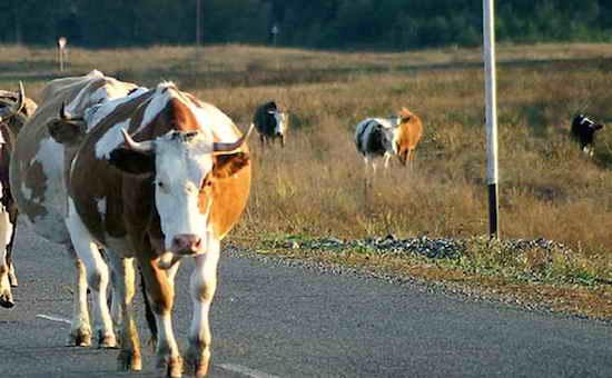 Пять пассажиров микроавтобуса пострадали в ДТП, спровоцированном коровой