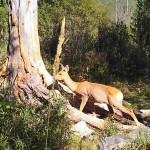 Медведи и лоси попали в фотоловушки на Алтае