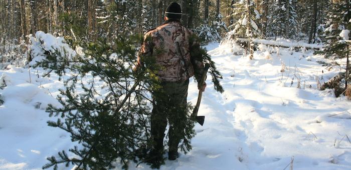 В лесах Алтая начали ловить заготовителей новогодних елей