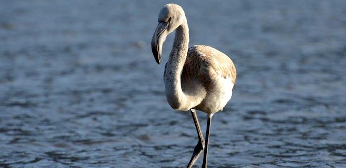 Фламинго, отбившегося от стаи около Телецкого озера, приютили в барнаульском зоопарке