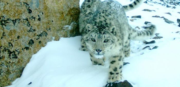 В Республике Алтай начинаются учеты снежного барса