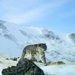 На Алтае пересчитают снежных барсов