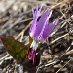 Фотофакт: На Алтае уже зацвели «краснокнижные» цветы