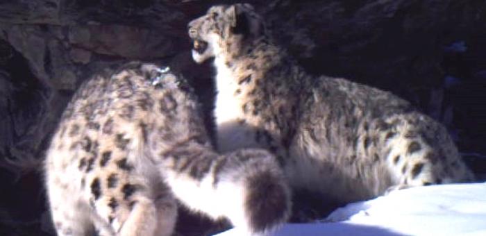 Проект по сохранению редких диких кошек стартовал в России