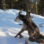 В заповеднике незаконно охотились на кабаргу (фото)