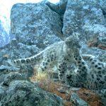 Самка ирбиса с двумя котятами погибли в браконьерских петлях