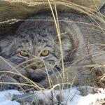 Банк России выпустит монеты с диким котом манулом