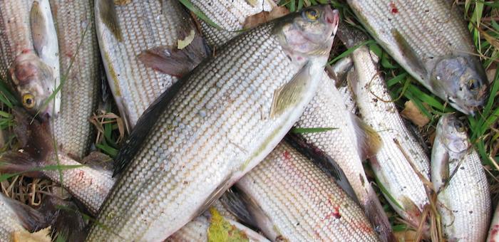 Рыбака накажут за ловлю хариуса в заповеднике
