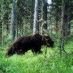 Новые снимки диких животных получены в Катунском заповеднике