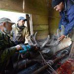 Панты с рекордным весом срезали в Онгудайском районе (фото и видео)