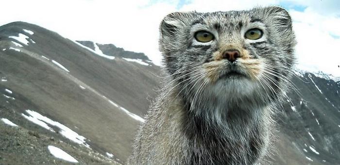 Алтайский манул восхитил зарубежную публику