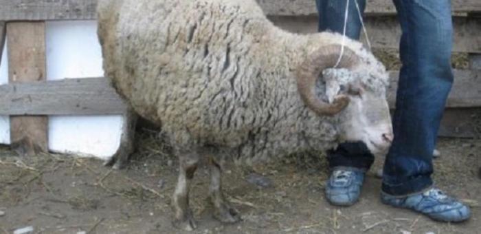 Любители халявной баранины отправятся под суд