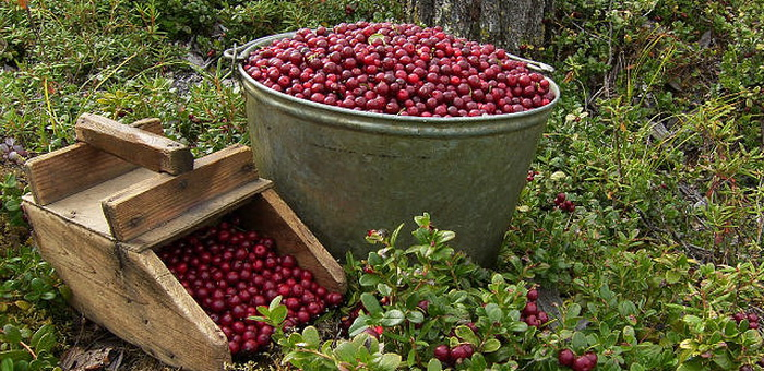 В республике установлены сроки сбора ягод и орехов