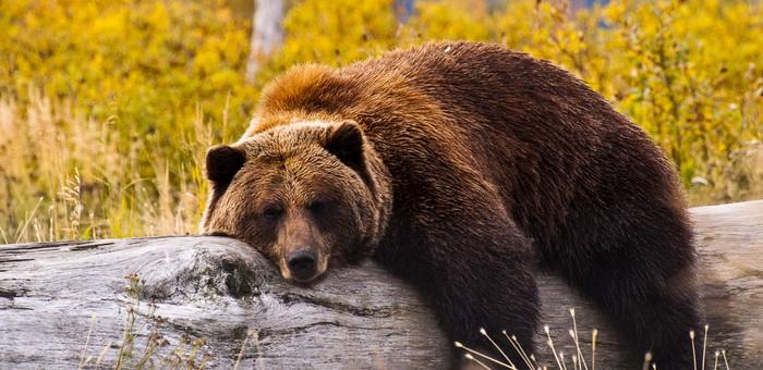 Мужчина заболел трихинеллезом, поев медвежатины в Иогаче