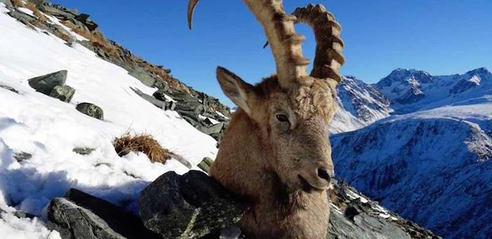 Браконьеры из Алтайского края убили козерога в Сайлюгемском парке