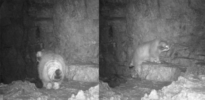 15 фотоловушек на манула установили в Сайлюгемском национальном парке