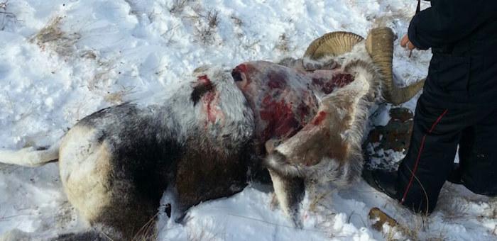 Общественность опасается, что настоящие браконьеры уйдут от ответственности