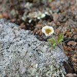 Фотофакт: На Алтае вновь цветет маральник и сирень