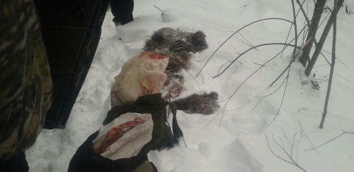 Около Паспаула браконьеры застрелили двух медведей