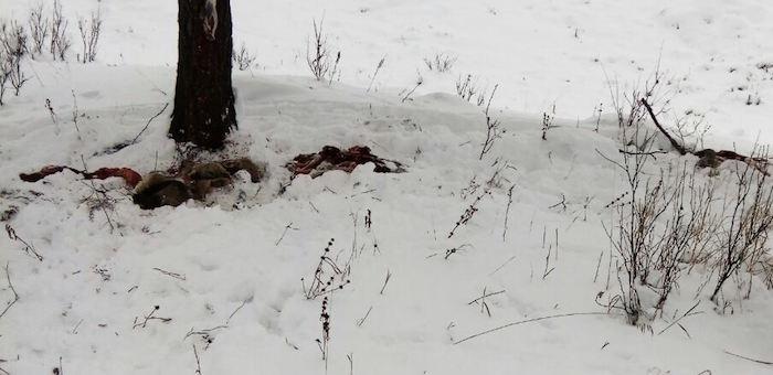 Проводятся рейды по спасению утопающих в снегу косуль