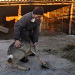 В Улагане спасли спустившуюся в село косулю (фото, видео)