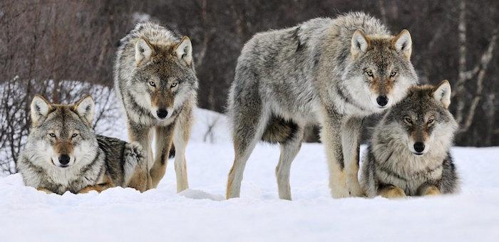 Слухи о нападении волков на ребенка и убийстве таксиста не соответствуют действительности