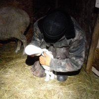 Как в хозяйствах Горного Алтая выхаживают новорожденных ягнят (фото)
