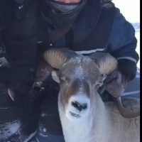 Браконьеры «наследили»: видеокадры охоты на аргали стали достоянием общественности