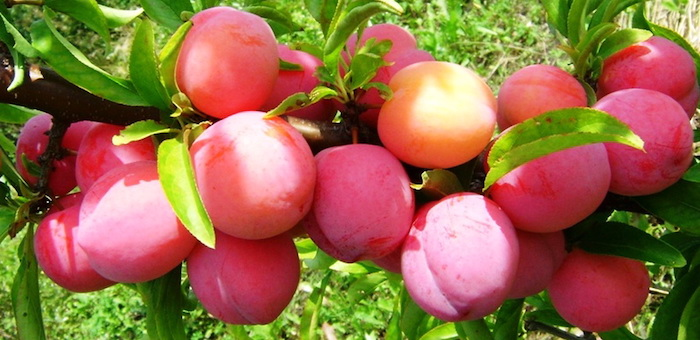 Переработку плодово-ягодных культур планируют организовать в Горном Алтае