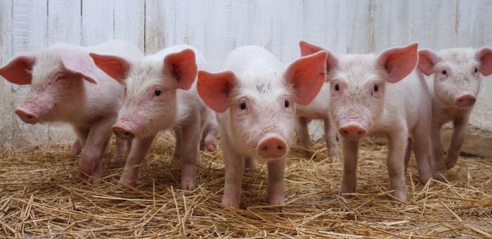 Африканская чума свиней пришла в Сибирь