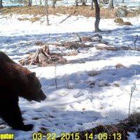 На Алтае проснулись медведи (фото)