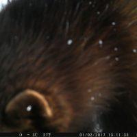 Фотоистория о том, как росомаха повадилась «проверять» фотоловушки