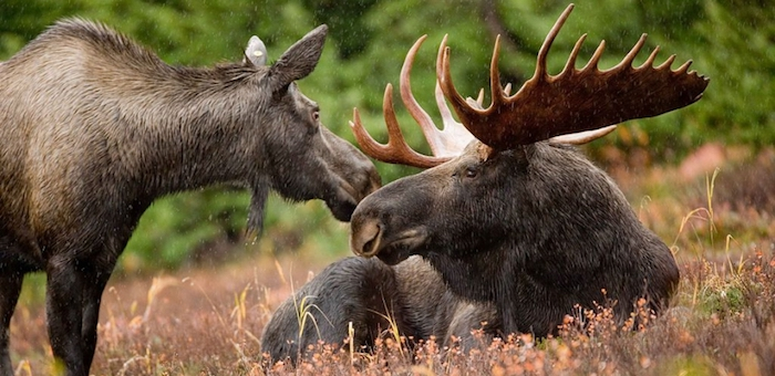 На Алтае на три года запретили охоту на лося