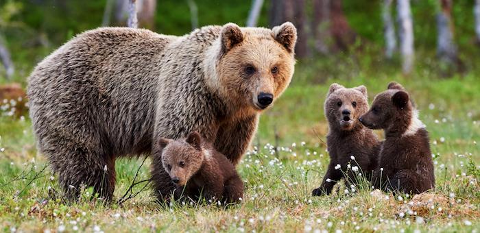 На Алтае туристы сняли на видео медведицу с медвежатами