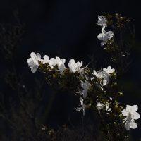 Белый маральник обнаружили на Алтае (фото)