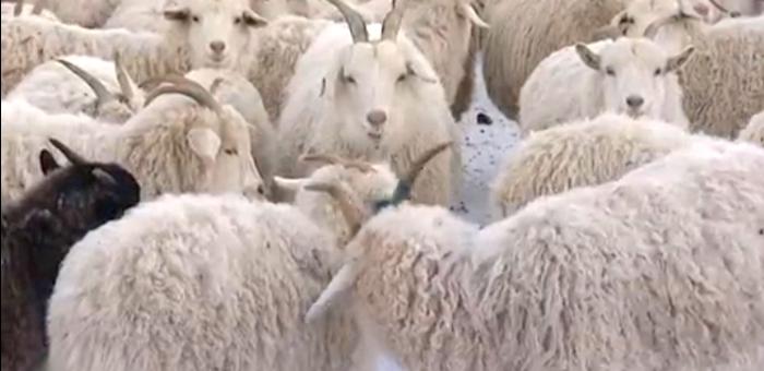 Выдан патент на алтайскую белую пуховую породу коз