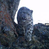 Новые снимки снежных барсов с котятами получили на Алтае