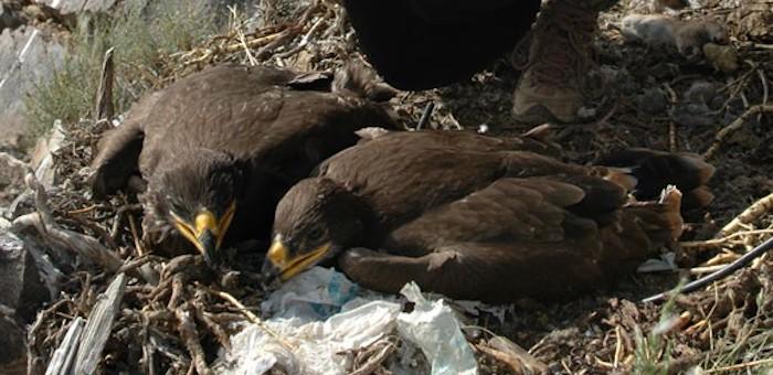 В гнездо соколов-балобанов подсадили рожденных в неволе птенцов