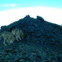 Уникальные фотоснимки снежных барсов, росомах, архаров и волков