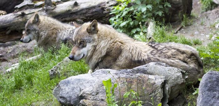 Более 420 волков отстреляли в республике с начала года