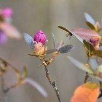 В Чемале третий раз за год начинает цвести маральник
