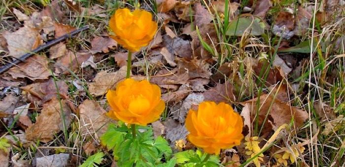 Цветы запоздалые. В Алтайском заповеднике даже в ноябре продолжают расцветать растения