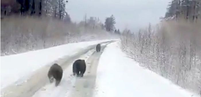 Сразу трех медведей встретили автомобилисты по дороге в Улаган (видео)